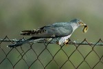 Common Cuckoo/Cuculus canorus - Photographer: Тео Тодоров